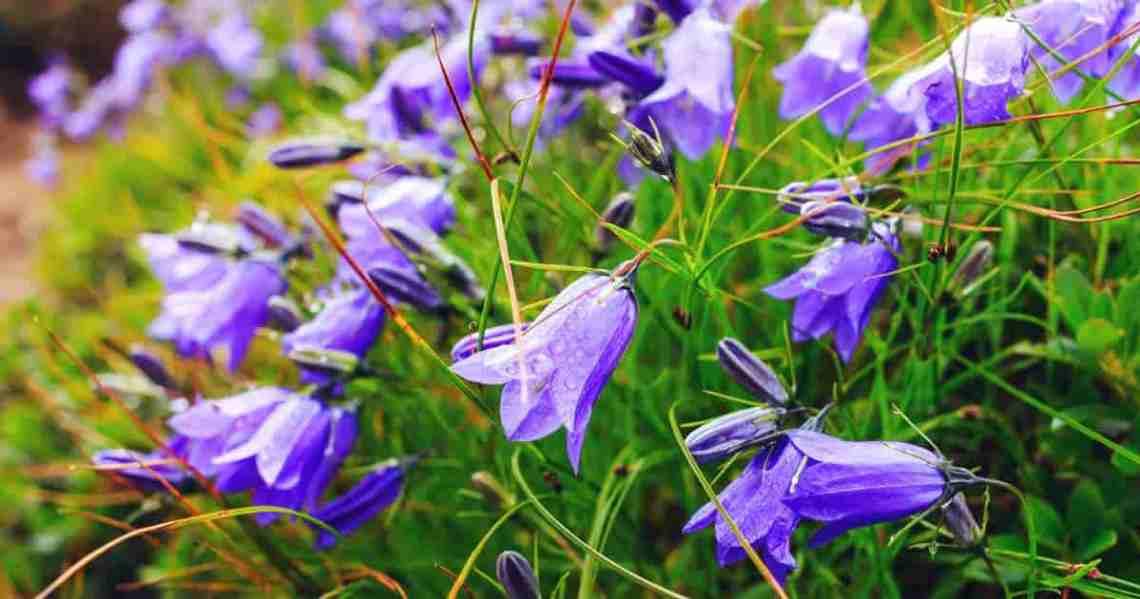 Flowering Campanula Carpatica (Carpathian Bellflower)
