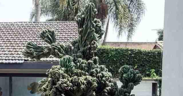 """Cereus peruvians """"Monstrose"""" outdoors in full sun"""