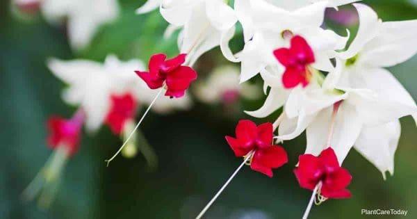 Clerodendrum thomsoniae blooms