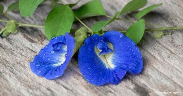 Clitoria Ternatea Bloom aka Butterfly Pea Flower
