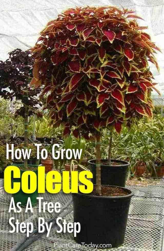 coleus grown as a tree