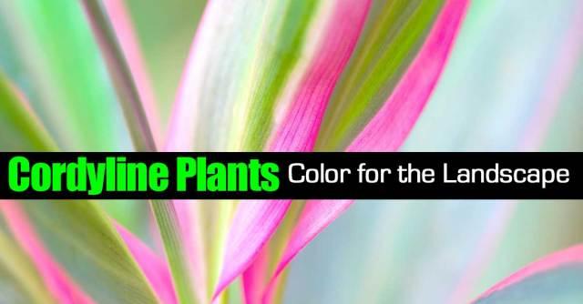 cordyline-plants-103114