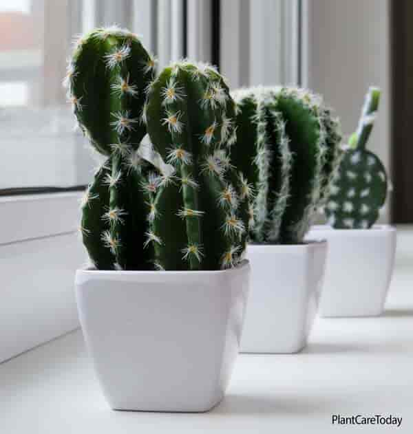Cactus growing on a windowsill in attractive white ceramic pots
