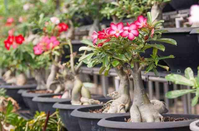 Collection of flowering Desert rose bonsai plants