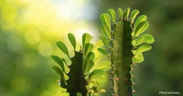 leaves up close of the Euphorbia cathedral cactus (euphorbia trigona)