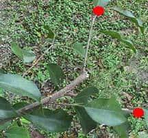 ficus pruning