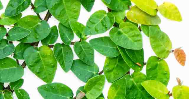 """Up close - """"creeping fig"""" great for climbing up walls , trellis or topiary"""