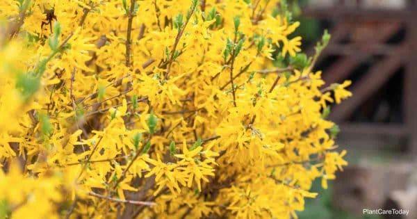 flowering Forsythia Shrubs