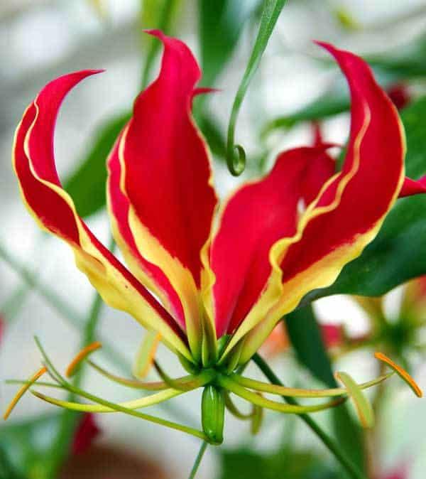 Flowering Gloriosa Lily