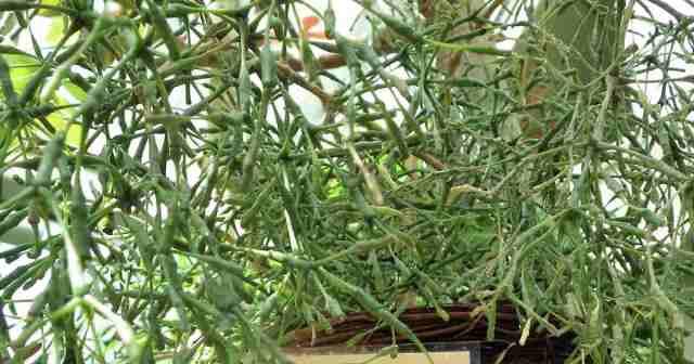 Hatiora bambusoides - Drunkard's Dream