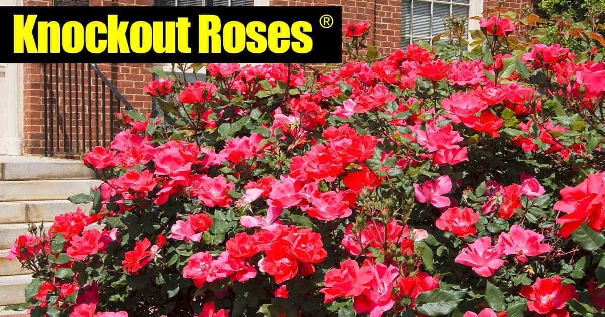 Knockout Roses Care How To Care For Knock Out Roses