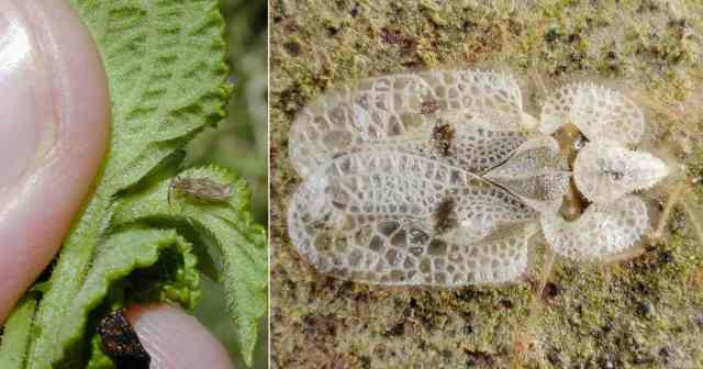 Lace bug up close