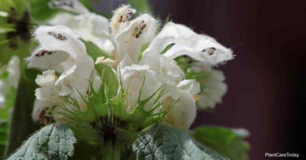 Lamium flower aka Dead Nettle