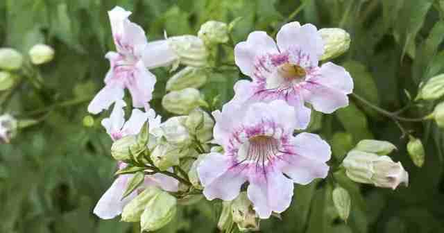 Lavender trumpet vine flowering - Clytostoma