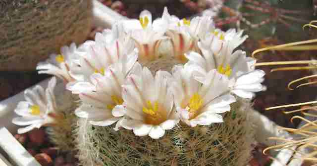 Close up of Mammillaria lenta white flower