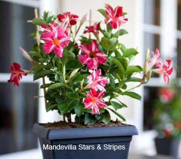 mandevilla-stars-stripes