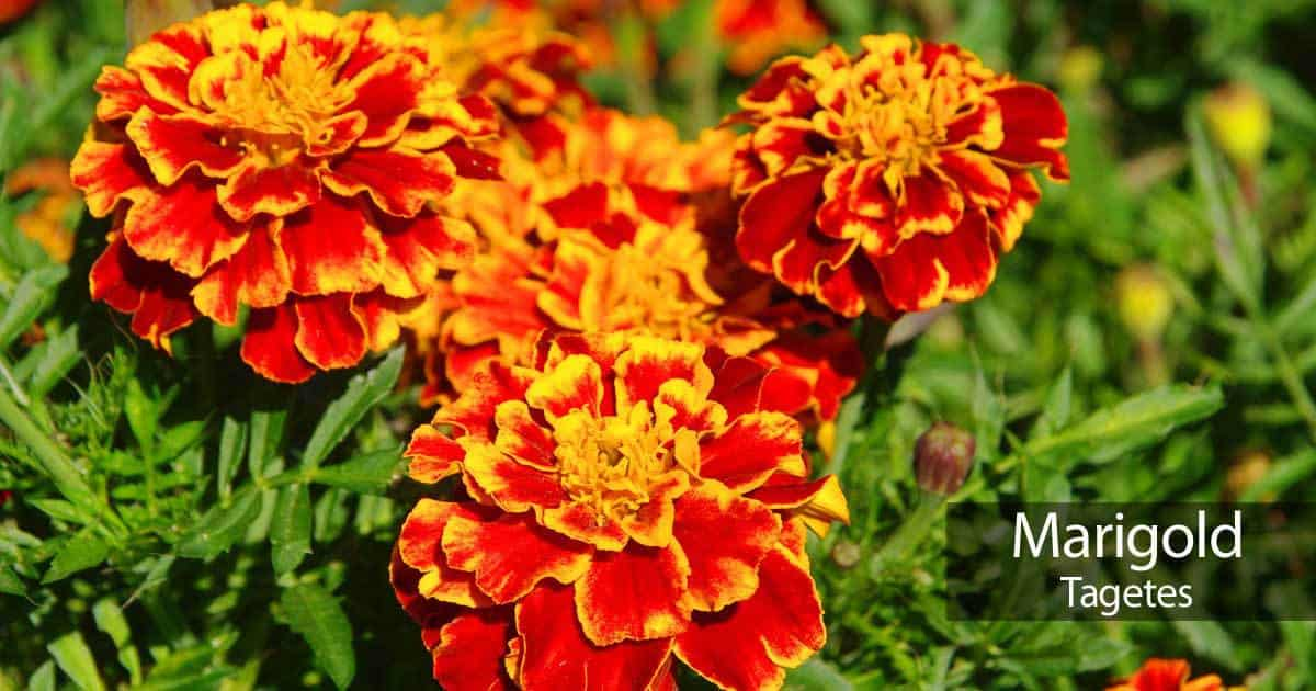 Marigold Flowers  How To Grow And Care For Marigolds marigold flowers in full color