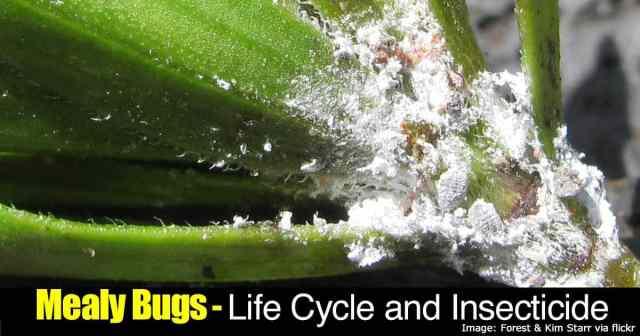 Mealybug feeding on leaves
