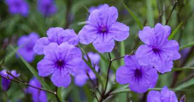Purple flower of Ruellia Brittoniana