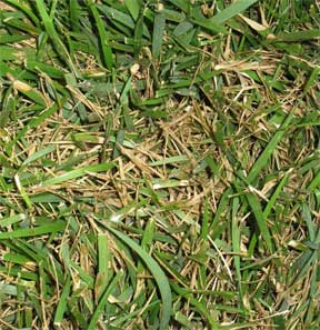 pct-lawn-fungus-brown-patch