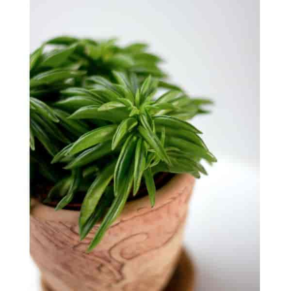 Decorative clay pot planted with Peperomia Ferreyrae