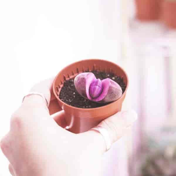 Beautiful succulent Pleiospilos nelii royal