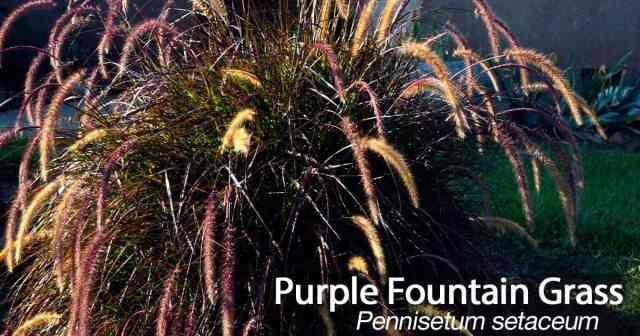 purple fountain grass - Pennisetum