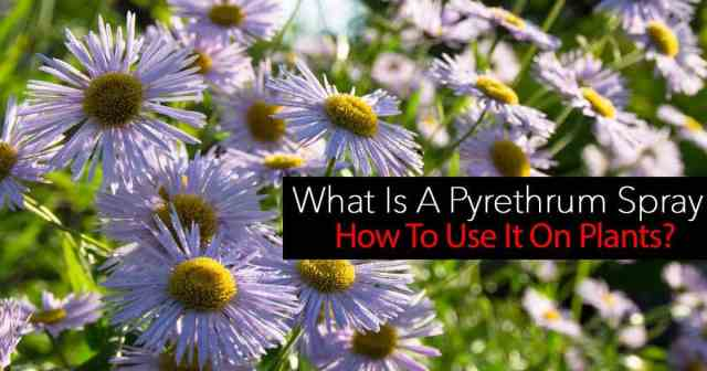 """Pyrethrum Sprays are an established commonly used natural pesticide and considered one of the best and safest """"organic insecticide sprays"""""""