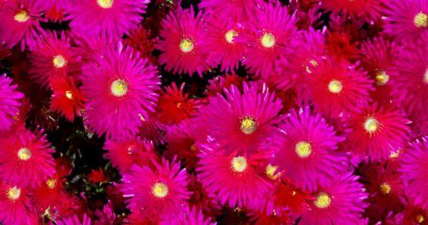 flowering ice plant Drosanthemum Floribundum