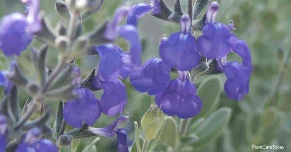 purple blooms of Salvia Chamaedryoides (Germander Sage)