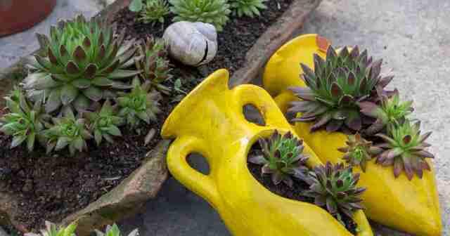 Sempervivum planted in decorative containers
