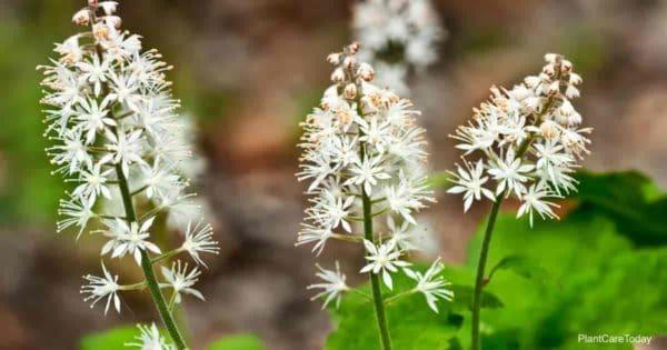 White blooms of Tiarella Cordifolia -Foamflower