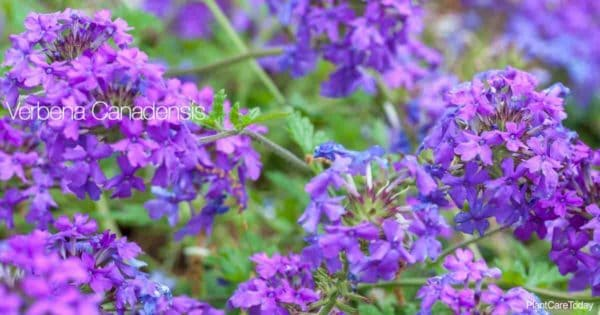 Flowers of the Trailing Verbena variety - Verbena canadensis