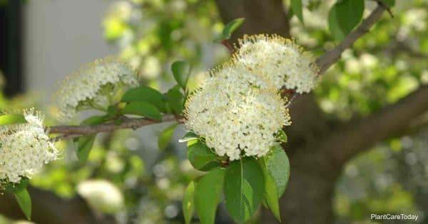 Viburnum prunifolium bloom