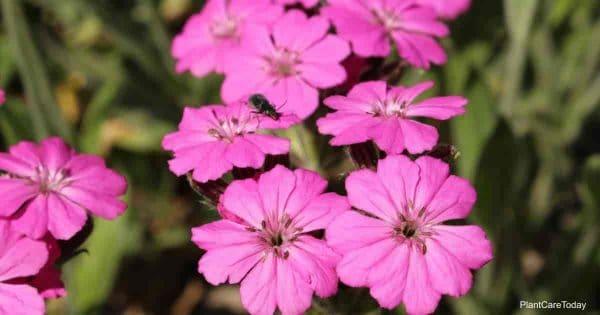 Pink Silene Viscaria flower