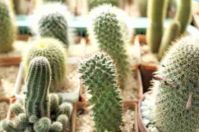 Cactus plant collection growing on a windowsill