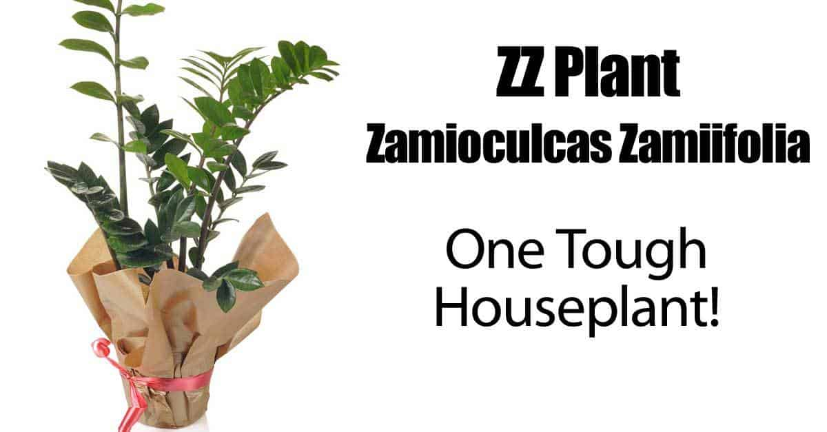 ZZ Plant Care: Growing Zamioculcas Zamiifolia HOW TO GUIDE on Zz Plant Care  id=76936