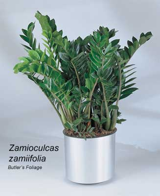 How To Care For The ZZ Plant - Zamioculcas Zamiifolia on Zz Plant Care  id=64404