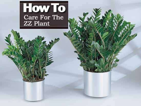 How To Care For The ZZ Plant - Zamioculcas Zamiifolia on Zz Plant Care  id=52656