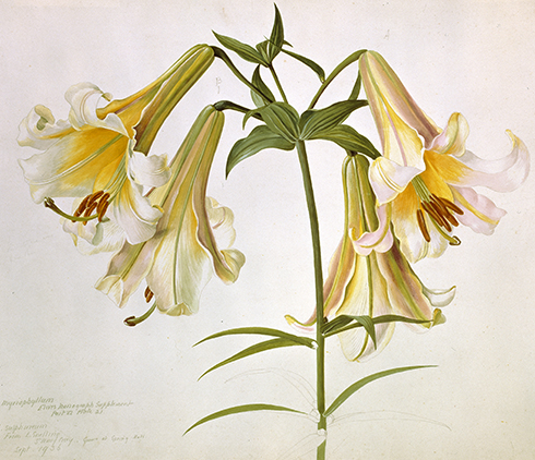 Lilian Snelling Sulphur Lily © Natural History Museum