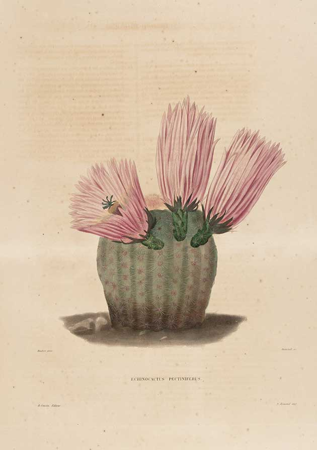 Echinocactus pectiniferus