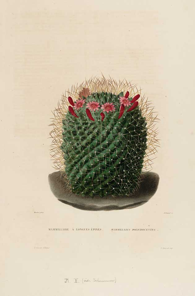 Mammillaria dolichocentra
