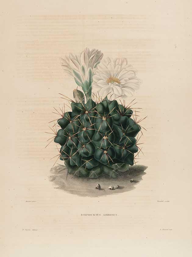 Echinocactus gibbosus