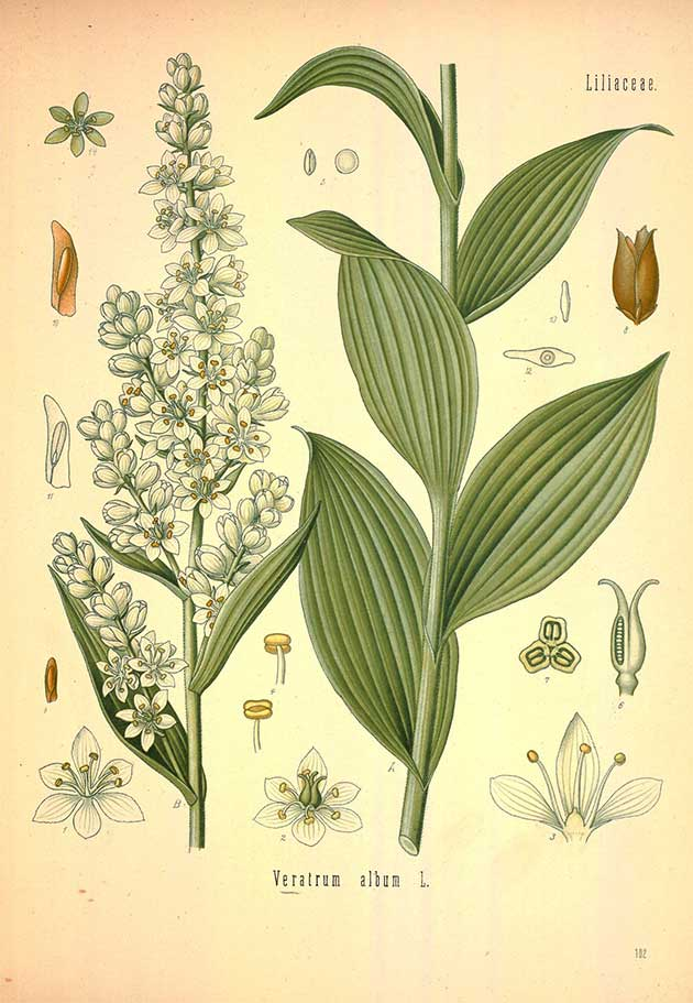 white false hellebore
