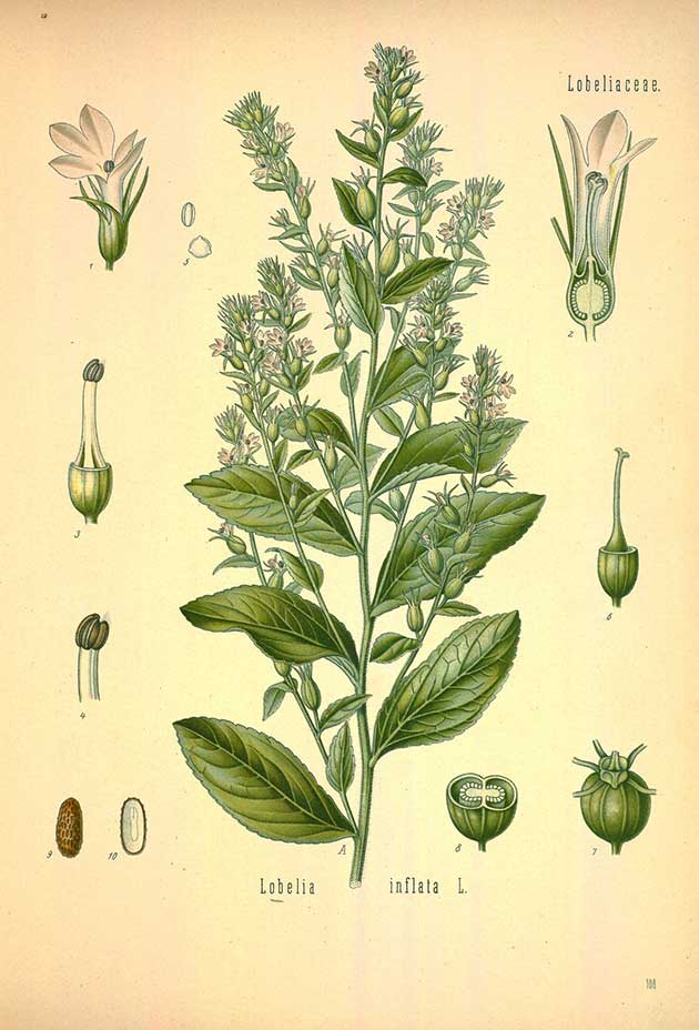 Indian-tobacco