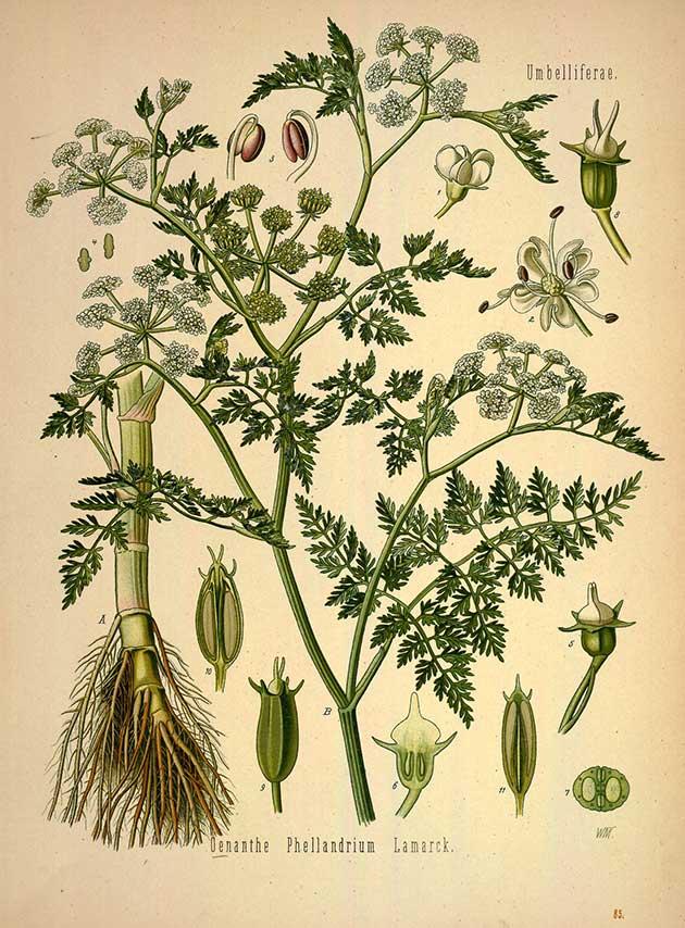 Phellandrium aquaticum