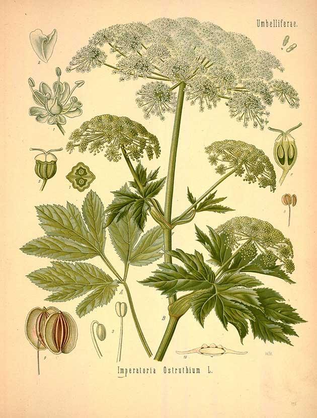 Imperatoria ostruthium