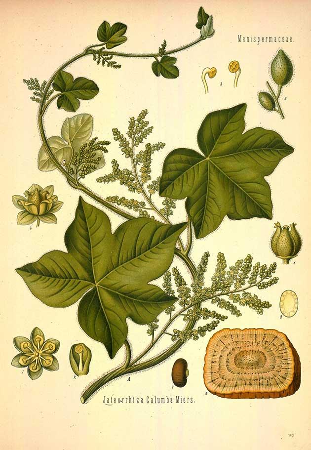 jateorhiza