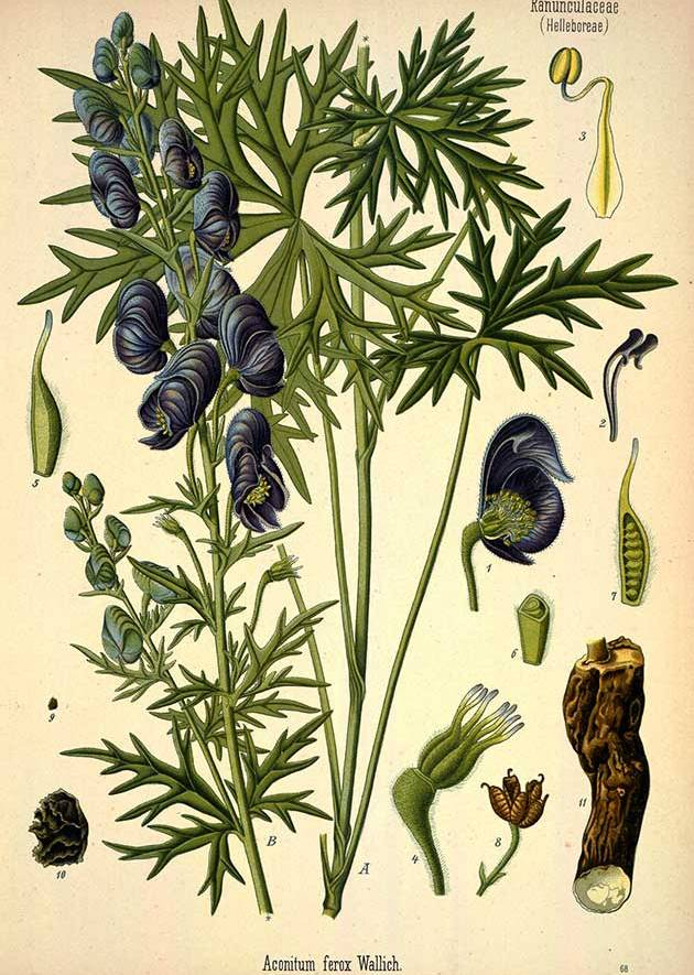 Medicinal plant illustrations