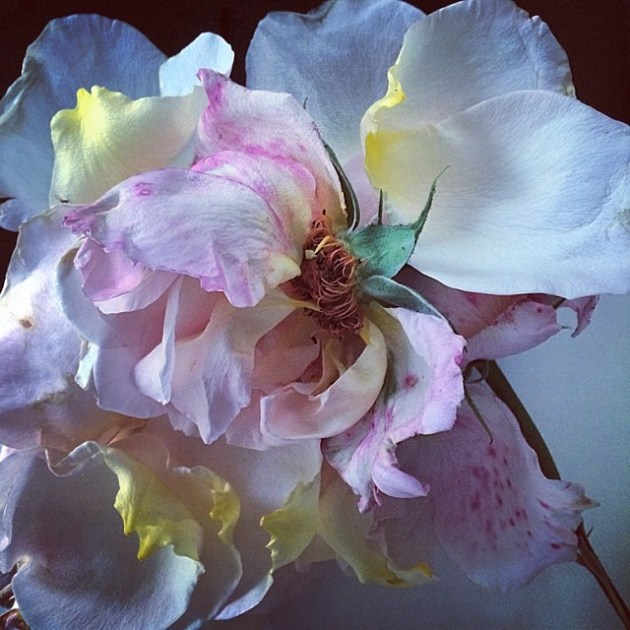 Nick Knight flower photography